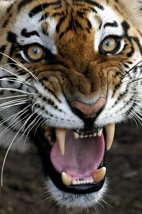 Bengal Tiger Face Growling
