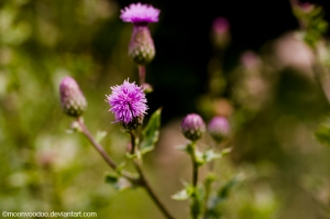 Thistles by MoonVooDoo