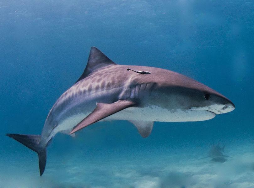 Tiger_shark by Albert kok