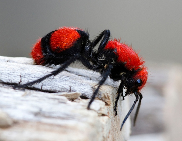 red velvet ant - via eric gofreed