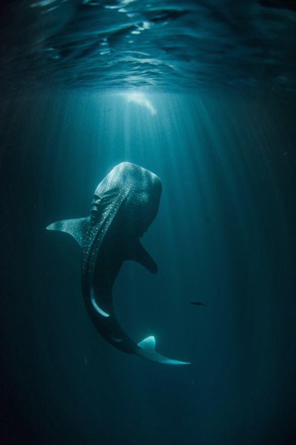 whale-shark - Thomas Peschak