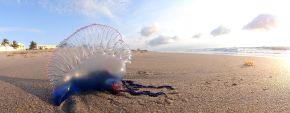 Portuguese_Man_o'_War_at_Palm_Beach_FL_by_Volkan_Yuksel_DSC05878