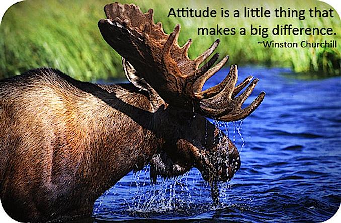 Moose attitude