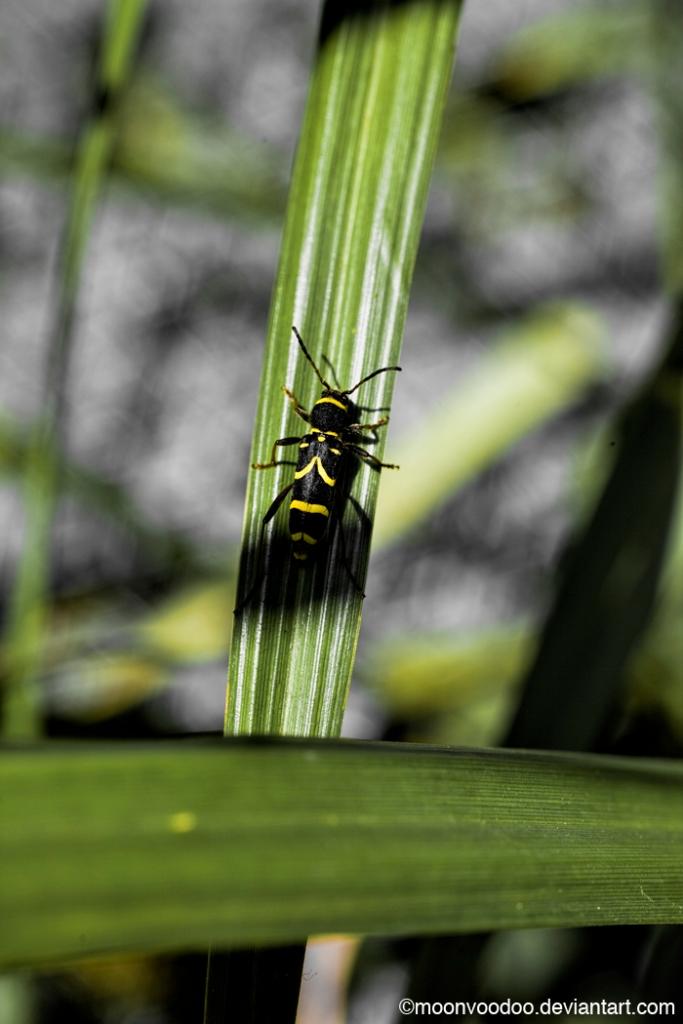Longhorn Wasp Beetle