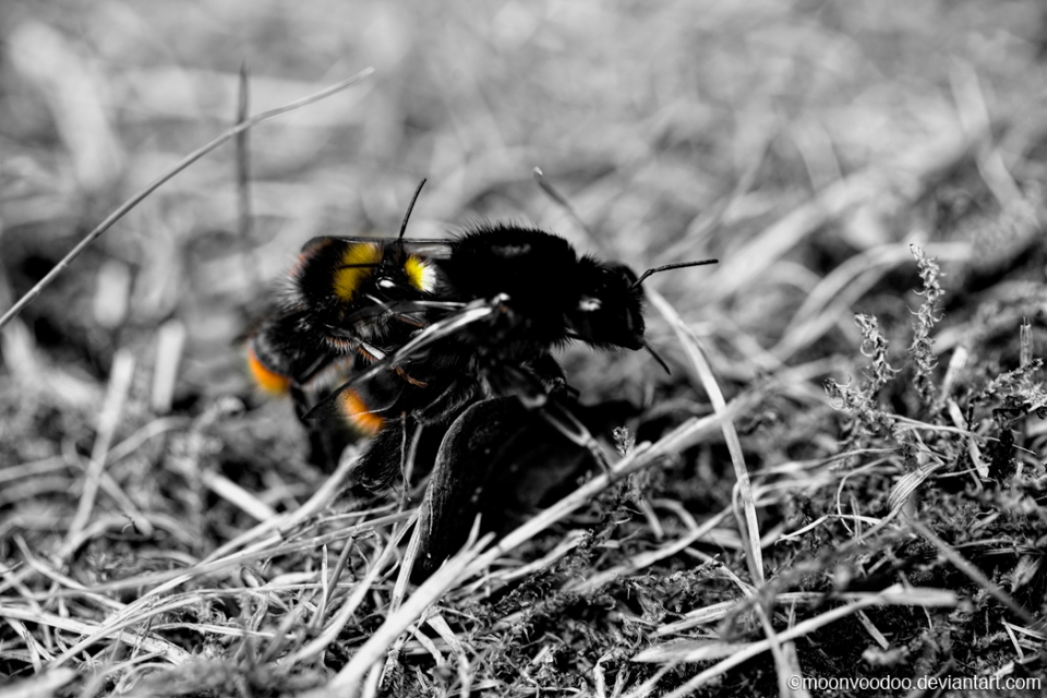 Parasitic Bumble Bee