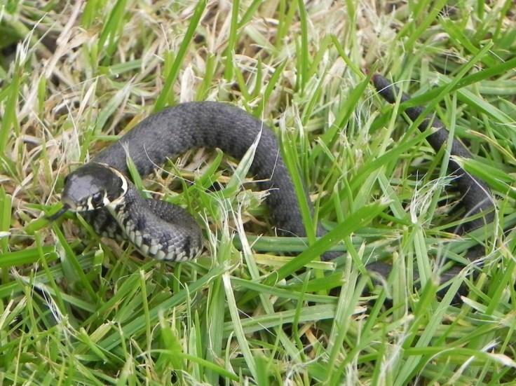grass snake uk
